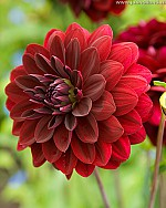 X 25 DAHLIA ARABIAN NIGHT I