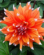X 25 DAHLIA COLOR SPECTACLE I