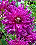 X 25 DAHLIA PURPLE GEM I