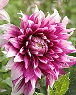 X 25 DAHLIA ENGLANDS GLORY I