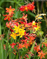 X 100 CROCOSMIA MIX 6/7
