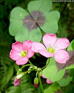 X 100 OXALIS DEPPEI IRON CROSS 4/5