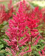 X 25 ASTILBE ARENDSII SPINELL 2/3