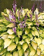 X 25 HOSTA LADY GUINEVERE® I