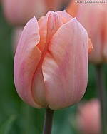 TULIPA APRICOT MAGIC
