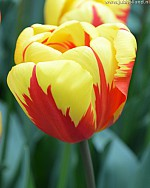 TULIPA HOLLAND QUEEN