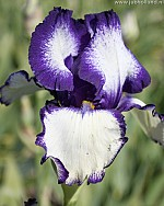 X 25 IRIS GERMANICA LOOP THE LOOP I