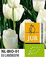 TULIPA WHITE DREAM BIOLOGISCH
