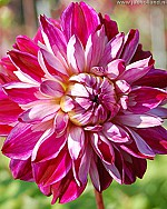 X 25 DAHLIA OPTIC ILLUSION I