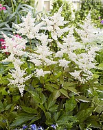 X 25 ASTILBE JAPONICA WASHINGTON 2/3