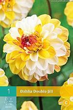 X 1 DAHLIA DOUBLE JILL I