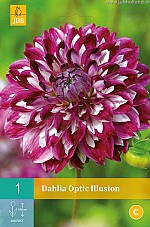 X 1 DAHLIA OPTIC ILLUSION I