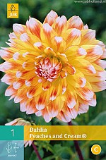 X 1 DAHLIA PEACHES AND CREAM® I