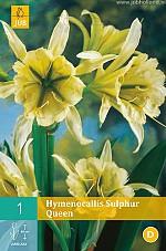 X   1 HYMENOCALLIS SULPHUR QUEEN 13/+