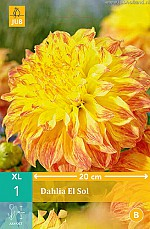 X 1 DAHLIA EL SOL I