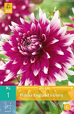 X 1 DAHLIA ENGLANDS GLORY I