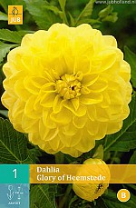 X 1 DAHLIA GLORY OF HEEMSTEDE I