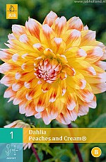 X 1 DAHLIA PEACHES AND CREAM I