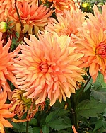 X 25 DAHLIA AUTUMN FAIRY I
