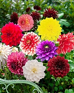 X 25 DAHLIA DECORATIEF MIX I