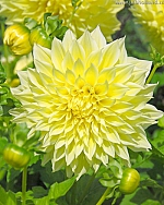 X 25 DAHLIA KELVIN FLOODLIGHT I