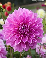 X 25 DAHLIA LAVENDER PERFECTION I