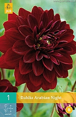 X 1 DAHLIA ARABIAN NIGHT I